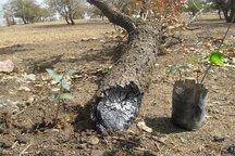 کاشت نهال جنگلی جایگزین مجازات زندان برای یک مجرم در خراسان شمالی شد