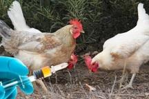 600 هزار دز آنفلوآنزای پرندگان در شهرستان ری تزریق شد