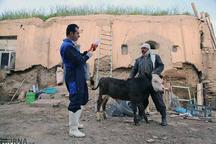 واکسیناسیون دام های سنگین سیستان و بلوچستان آغاز شد