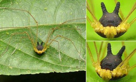 عجیبترین عنکبوت دنیا با سری شبیه سگ / عکس