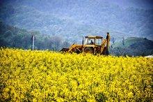 دهلران جزو پنج شهرستان برتر کشور در تولید کلزاست