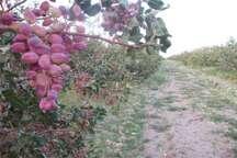 مبارزه تلفیقی علیه پسیل پسته موثرترین راه از بین بردن این آفت است