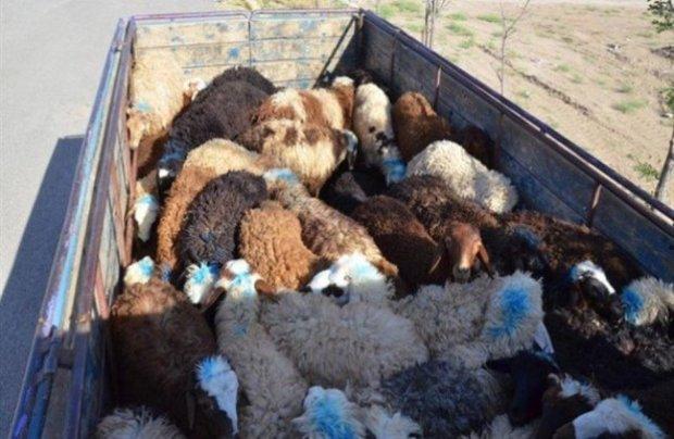 خودروهای حامل 388 راس دام قاچاق در داراب توقیف شد