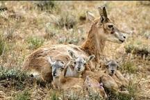 رعایت مقررات زیست محیطی درفصل زایش حیات وحش خاییز ضروری است