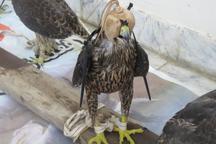 دستگیری شکارچیان غیرمجاز پرندگان در گلستان
