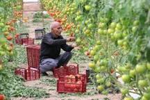 60هکتار گلخانه گوجه فرنگی در دیر وجود دارد