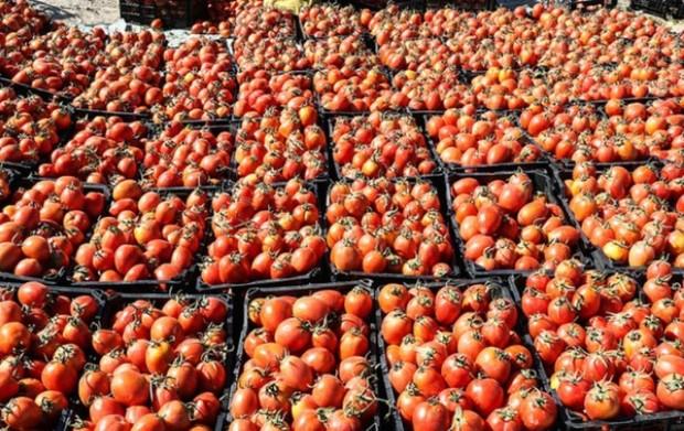13.6 تن گوجه فرنگی قاچاق در گمرک دیر کشف شد