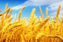 پیش بینی برداشت 30 هزار تن گندم و جو از اراضی شهرستان چرداول