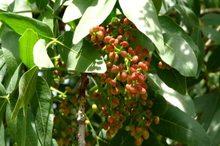 چیدن میوه بنه بیش از مصرف خانوار نیاز به مجوز دارد