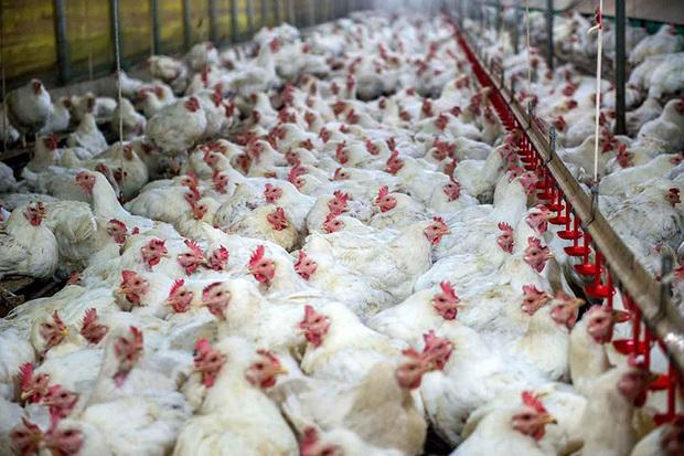400 هزار قطعه مرغ آماده عرضه به بازار شد