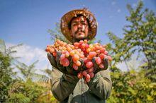 آغاز برداشت انگور از تاکستانهای خراسان شمالی
