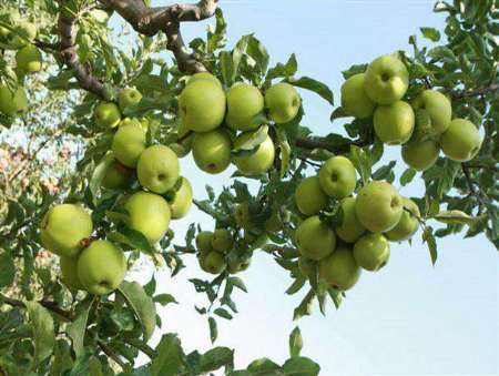 پیش بینی برداشت یک هزار و 500 تن انواع میوه در ملکشاهی