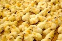 افزایش ۱۰ درصدی جوجه ریزی در مرغداری های خوزستان