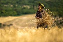 """آغاز برداشت خوشههای طلایی گندم از مزارع کُردستان """"کامیاران"""" پیشتاز برداشت گندم"""