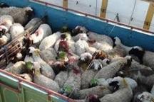 کشف 40 راس گوسفند فاقد گواهی بهداشتی در قزوین