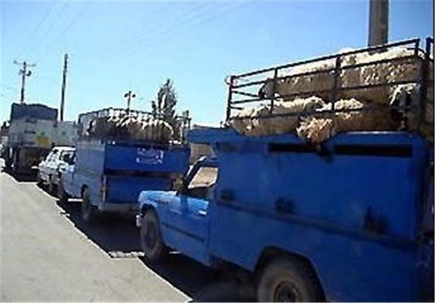 134 راس گوسفند قاچاق در سلسله کشف شد