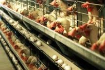 افزایش ۴۰ درصدی تولید تخم مرغ در خوزستان