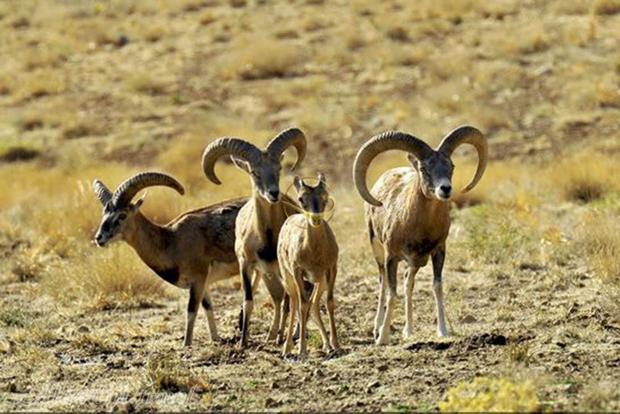 4900 راس حیوان در منطقه حفاظت شده مراکان خوی زیست می کنند