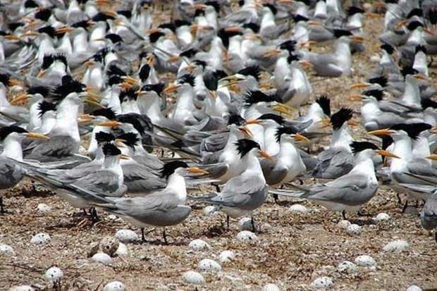 100 پرنده در جزایر بوشهر زادآوری می کنند