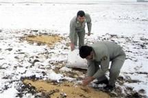 دانه پاشی به پرندگان در کنگاور آغاز شد