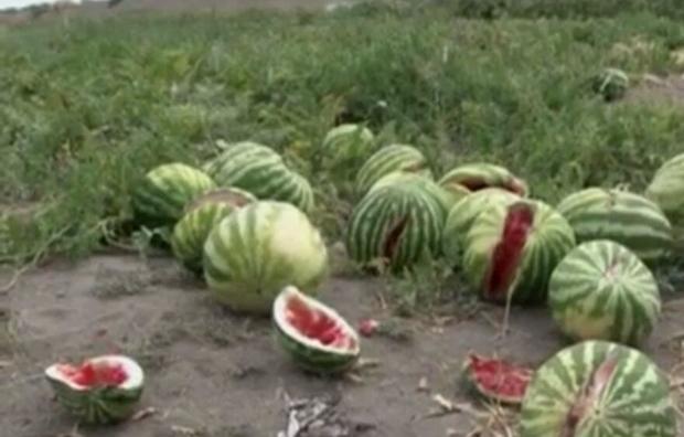 کشاورزان دلگانی از نبود کامیون برای حمل هندوانه گلایه دارند
