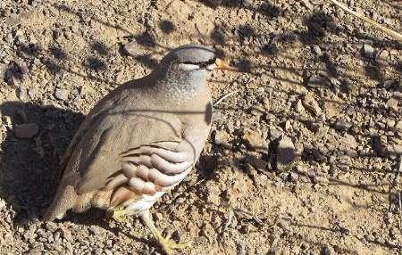 شکارچی متخلف پرندگان در بزمان دستگیر شد