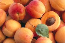 45 درصد محصولات باغی مرند  صادر می شود