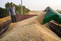 خرید گندم در آذربایجان غربی همچنان ادامه دارد