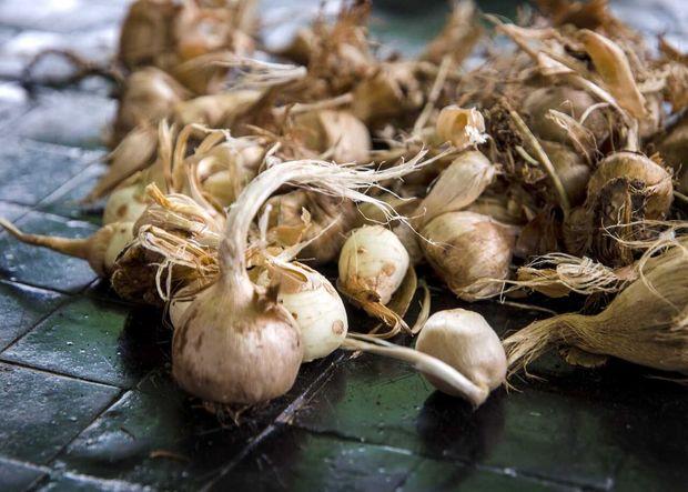 ۳۰۰ هکتار از مزارع زعفران خراسان رضوی دچار پوسیدگی پیاز شده است