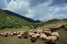 ورود دام مازاد به مراتع کردستان ممنوع است