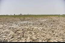 برداشت گندم در سیستان با کمباین مقرون به صرفه نیست