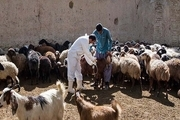 بیش از ۷۰۹ هزار راس دام کردستان علیه بیماری طاعون مایه کوبی شد