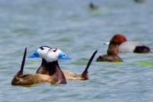 آذربایجان غربی بزرگترین سایت جوجه آوری اردک سرسفید در جهان