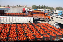 حدود 25 میلیون دلار گوجه فرنگی از کرمانشاه صادر شد