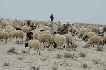 قاچاقچیان احشام در آذربایجان غربی 18.6میلیارد ریال جریمه شدند