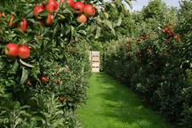 احیای 186 هکتار از باغ سیب کرج تا پایان سالجاری