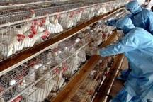 امکان شیوع آنفلوآنزای پرندگان درکهگیلویه وبویراحمد وجود دارد