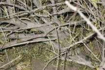 سمپاشی 200 هکتار از جنگل های منطقه بادرود برای نابودی ملخ های کوهان دار
