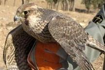 کشف محموله بزرگ قاچاق پرندگان شکاری در خرمآباد