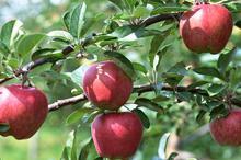 سیب های سپیدان فارس در انتظار صادرات بر درختان مانده است