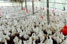 تولید مرغ در قزوین پس از انقلاب 500 درصد رشد پیدا کرده است