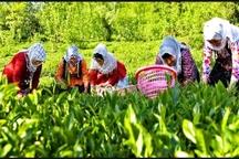 خرید بیش از 2 هزار تن برگ سبز چای در تنکابن