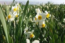 امکان برداشت بیش از20 تن گل نرگس در شهرستان مُهر هست